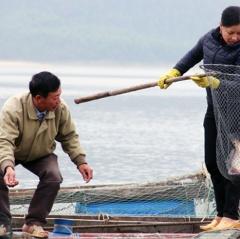 Nuôi thủy sản trên sông Vịnh, thu lãi 150 triệu đồng/1 ha