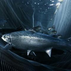 7.000 tấn cá hồi sẽ được bay trực tiếp từ Na Uy đến Trung Quốc