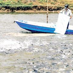 Tăng sức cạnh tranh của con cá tra