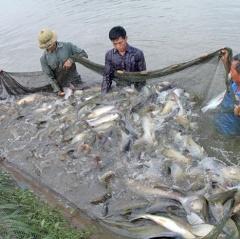 Thái Hòa: Hiệu quả từ mô hình nuôi cá trắm giòn