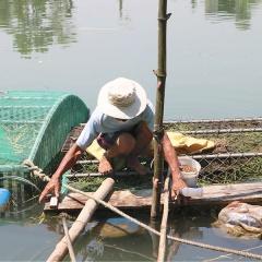Thừa Thiên Huế: Thành công mô hình nuôi cá trắm xen ghép rô phi