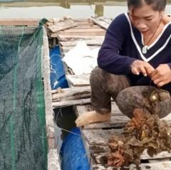 Bà Rịa-Vũng Tàu: lãi lớn từ nuôi hàu Thái Bình Dương
