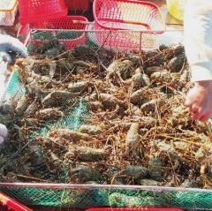 Cam Bình được mùa tôm hùm, người nuôi lãi khá