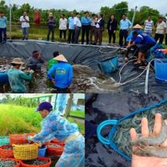 Kiên Giang: Nuôi tôm siêu thâm canh hai giai đoạn trên hồ trải bạt