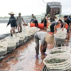 Nuôi trồng thủy sản phát triển ở Tiên Yên
