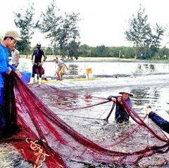 Quảng Nam: Nuôi tôm trên cát trúng lớn