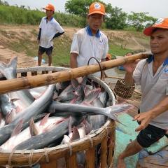 Kỳ vọng của ngành cá tra trong năm mới