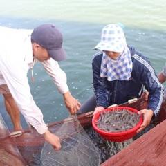 Trước tết nông dân Nghệ An thu hoạch tôm vụ 3 bán giá cao