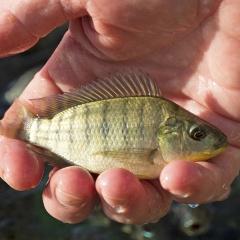 Tinh dầu trị bệnh cho cá vượt trội hơn kháng sinh