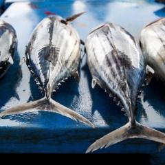 Giá cá ngừ vằn giảm do lượng tồn kho cao