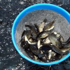 Bổ sung sodium butyrate cải thiện tăng trưởng cho cá rô phi