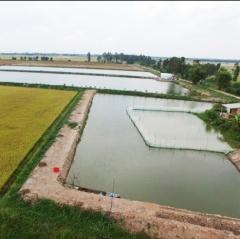 Long An nhiều diện tích đất lúa chuyển sang nuôi cá tra