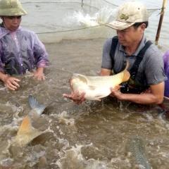 Hiệu quả từ nuôi xen ghép giống cá chép mới
