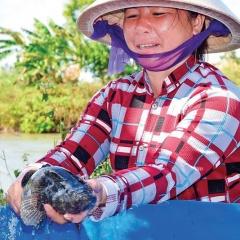 Quả ngọt nhờ không từ bỏ khi cá nuôi rớt giá