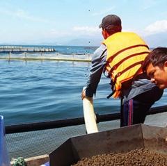 Thăm vùng nuôi cá chẽm quy mô lớn
