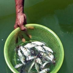 Nuôi cá hô dưới lòng hồ thủy điện ở Lâm Đồng