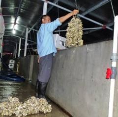 Tết sung túc nhờ nghề nuôi hàu giống ở Kim Sơn