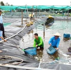 Kiên Giang liên kết nuôi tôm công nghiệp - bán công nghiệp