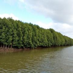 Tầm quan trọng của hệ sinh thái rừng ngập mặn chưa được hiểu đúng