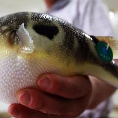 Điều gì làm cho cá nóc chết người nhưng rất ngon?