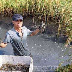 Để vùng tôm - lúa nuôi ghép tôm càng xanh hiệu quả