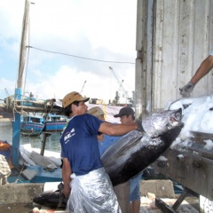 Chuyến biển xuyên tết, ngư dân Bình Định trúng đậm cá ngừ