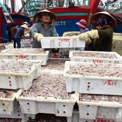 2 tháng ngư dân Quỳnh Lưu thu hơn 200 tỷ đồng từ khai thác hải sản