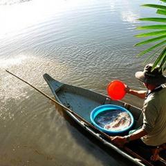 Mùa thuốc cá, cải tạo vuông tôm