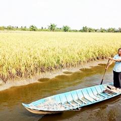 Mô hình sản xuất tôm - lúa hữu cơ ở U Minh