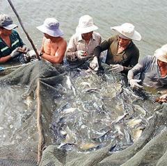 Xây dựng thương hiệu cá dứa Cần Giờ