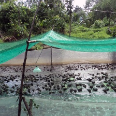 Vĩnh Long: Nuôi ếch kết hợp với cá rô phi đỏ