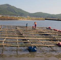 Sông Cầu: Tăng cường quản lý lồng bè nuôi tôm, hàu