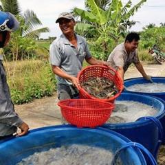 Để ngành hàng tôm giảm rủi ro, tăng bền vững