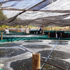 Bioflocs và chất nền nhân tạo giảm tác động của mật độ cao đến tôm