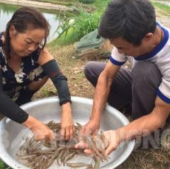 Hải Dương: Cẩn trọng khi nuôi tôm thẻ chân trắng vùng nước ngọt