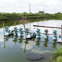 Thời tiết thất thường, hàng trăm ha tôm nuôi bị thiệt hại