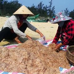 Quảng Nam: Ruốc được mùa rớt giá