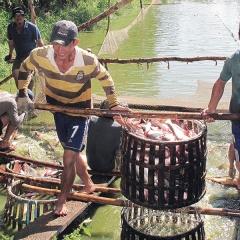 """Giá cá tra nguyên liệu trở về điểm """"hòa vốn"""""""