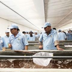 Tập đoàn Việt Úc tại Quảng Ninh ra mẻ tôm giống đầu tiên