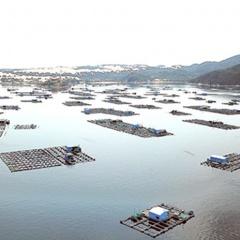 Khánh Hòa: Lúng túng công tác quản lý vùng nuôi tôm