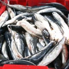 Quãng Ngãi: Rộn ràng mùa cá chuồn