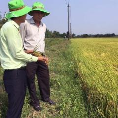 Thừa Thiên Huế: Cá rô phi đen cắn phá lúa