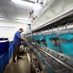 Singapore sản xuất giống cá rô phi nuôi được trong nước biển
