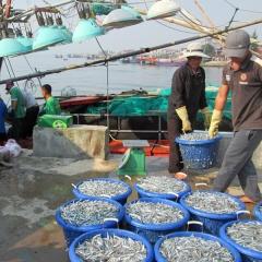 Sản lượng khai thác vụ cá Bắc đạt gần 1,6 triệu tấn
