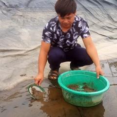 Nghề nuôi ngao sinh sản: Cân cát lấy tiền