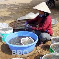 Thu nhập khá từ nghề vớt sứa