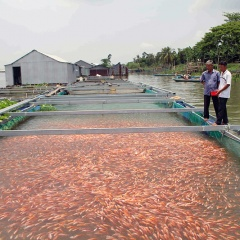 An Giang: Cá chợ lên ngôi