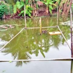Nuôi cá chạch lấu trong ao đất hiệu quả ở Kiên Giang