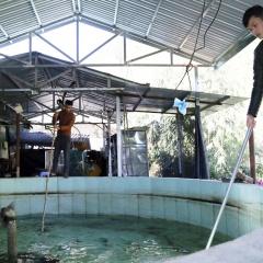 Nắng nóng gây thiệt hại cho người nuôi cá hồi Sa Pa