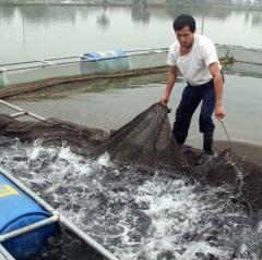 Thanh Hóa: Thu hàng tỷ mỗi năm từ nuôi cá lồng trên hồ nước ngọt